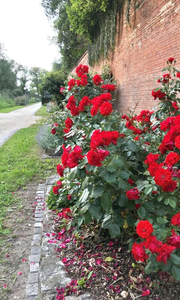 Neu-Ulm Glacis Rosen
